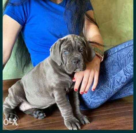 Cane corso bule puppies imported from Ukraine champion