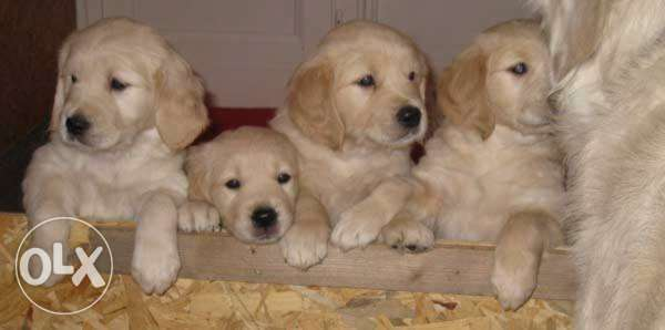 Golden Retriever(Golden Color) المرفأ -  1