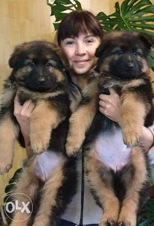 Imported german shepherd puppies, FCI PEDIGREE.. Top quality
