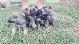 German Shepard puppies for sale !