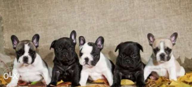 French bulldog puppies, imported from Ukraine with Pedigree. Top quali