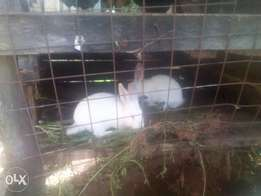 rabbits 4 sale