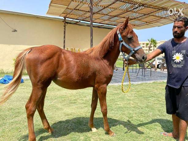 8 month Female horse for sell