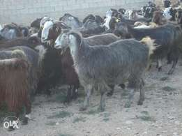 Big Hausa Goat from farm