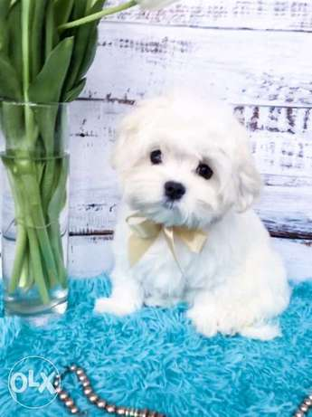 Cutest imported mini maltese puppies with all documents