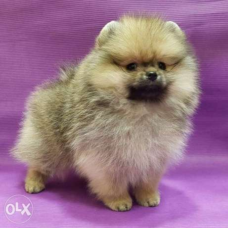 Pure pomeranian puppy's for sale