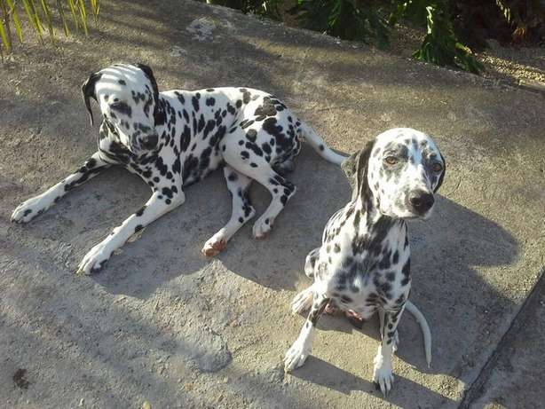 DALMATION puppies for sale Despatch, PE Port Alfred - image 2