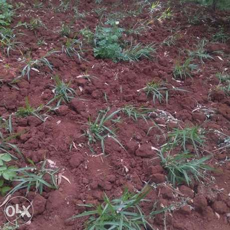 High protein Bracharia grass seedlings a.k.a. splits for sale Gakinduini - image 7