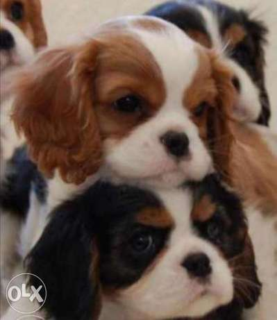 Cavalier King Charles.. TOP QUALITY