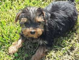 Adorable Yorkshire Terrier puppies for sale.