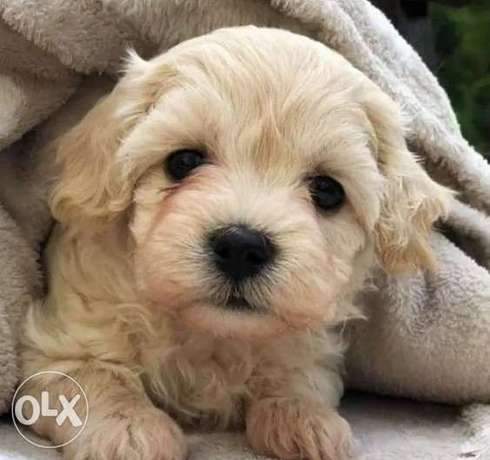 Imported Maltipoo Top Quality Best price Full documents from Ukraine