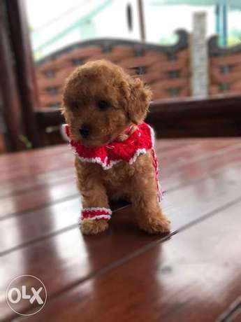Toy Poodle(Miniature) Imported From Europe