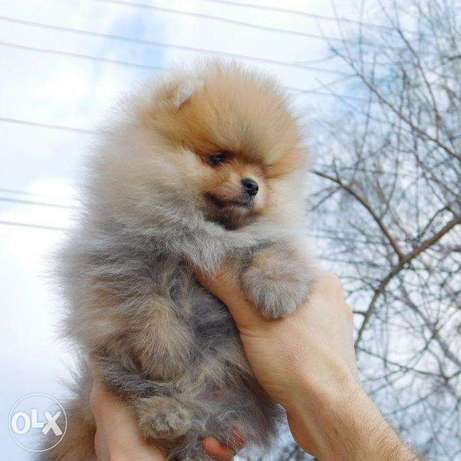 For sale a mini Pomeranian boy, type of a bear.