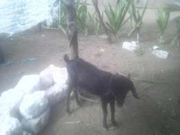 He goat for sale