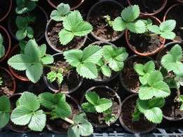 Strawberry seedlings plants