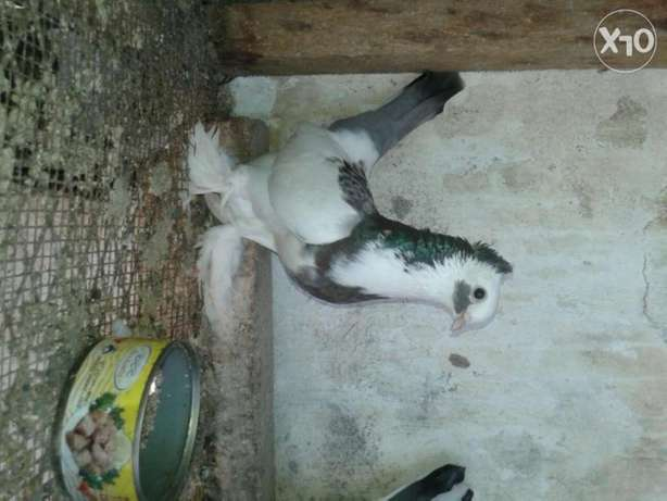 Matured shungi flea pigeons for sale price is for both two Mtwapa - image 1