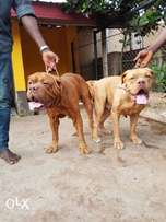 male and female French Mastif for sale