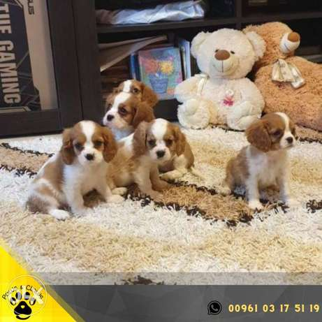 King Charles Spaniel Puppy class show with documents and vaccinations