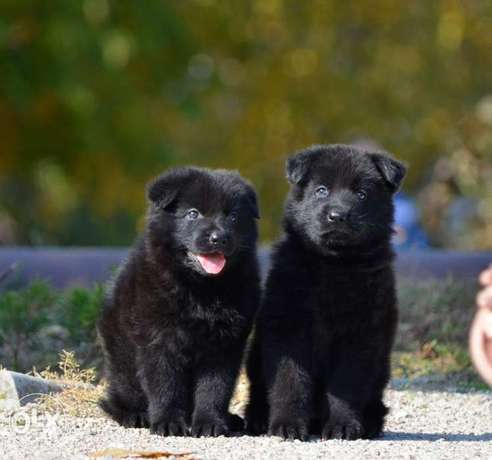 Royal Black puppies.. FCI PEDIGREE.. Top quality