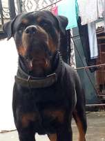 Full pedigree rott for stud service