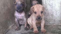 2 months old Fawn and brindled female Boerboel