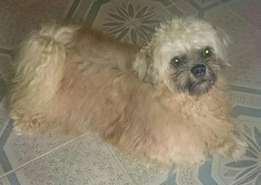 Male Lhasa for stud (Mating)