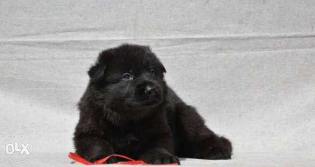 Royal Black puppies, top quality, imported with Pedigree and passport مدينة الرحاب -  1