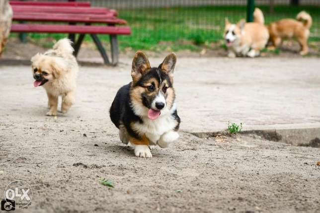 Cute Corgi Puppies حارة حريك -  5