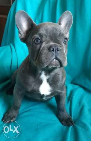 French bulldog blue puppies imported from Ukraine with all documents