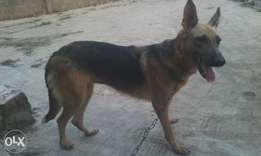 Adult female Alsatian for sale at give a way price