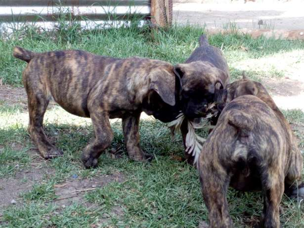Brindle Boer puppies Karen - image 4