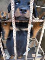 Rottweiler Puppy for sale