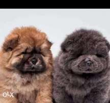 Best of the best imported chowchow puppies with all documents