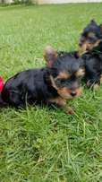 Male Pocket size Yorkies available