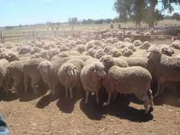 14 Months Old Merino Sheep