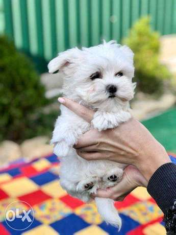 """The most Amazing Maltese puppies """"The best Quality with all documents"""""""