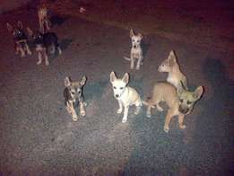 Husky and Boxer X Pups for sale