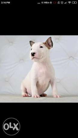 Imported bull terrier puppies