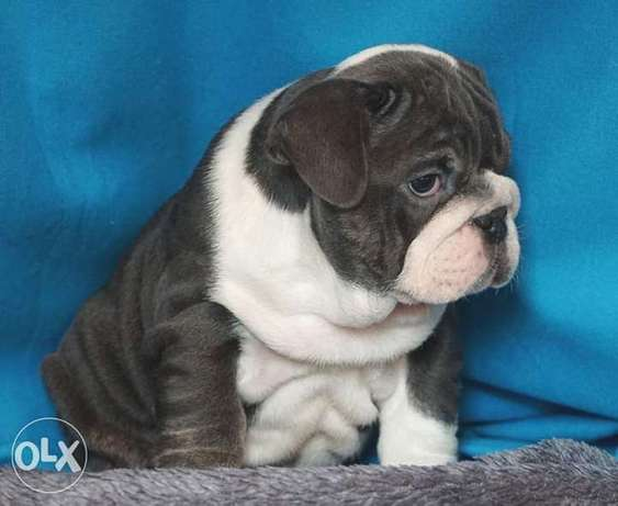 The best imported English bulldog puppies with Pedigree , all colors