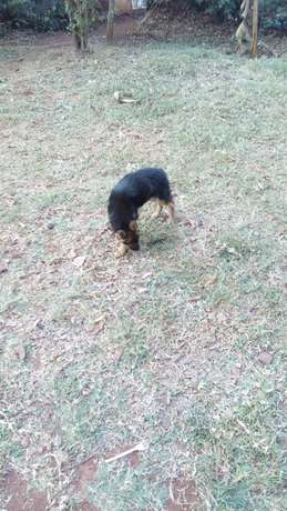 10000 ksh German Shepherd puppy Nyari - image 3