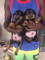 Male Rottweiler Puppies for sale