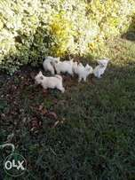 2 month old terria dogs for sale.