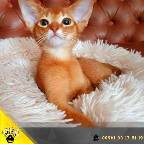 The cattery offers for sale a kitten of the Abyssinian breed
