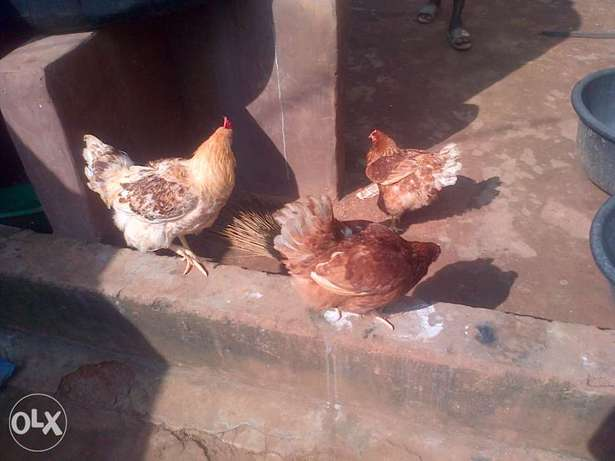 matured chicken Oredo/Benin-City - image 1