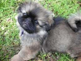 Cute Pekingese Puppies