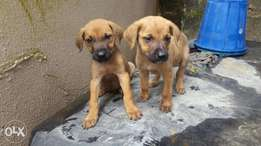 boerboels for give away