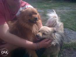 toypom males two for R500