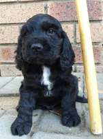 Adorable Spaniel Pups For Sale in Nelspruit