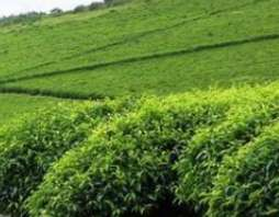 We offer 3000 acres tea farm for sale in kericho, full of tea bushes,