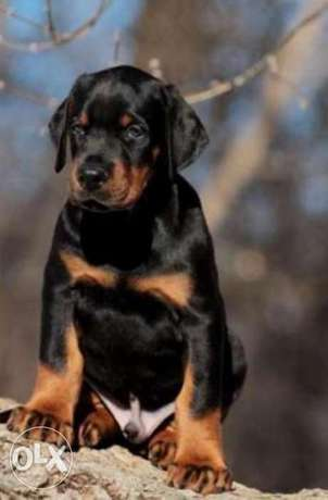 Imported doberman puppies